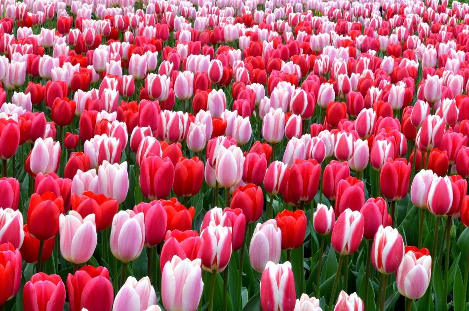 Tulip-Strawberry-Fields-Collection_x2000_crop_center